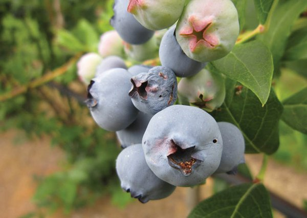 Cherry fruitworm damage to blueberries