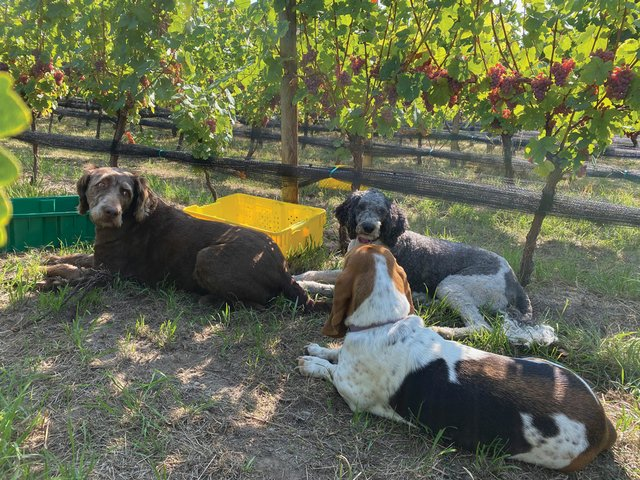 Dogs at harvest