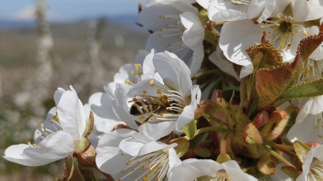 Bee in a cherry blossom